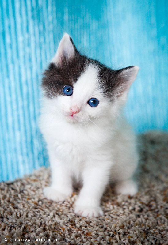 Ragdoll --    beautiful fluffy cat kitty