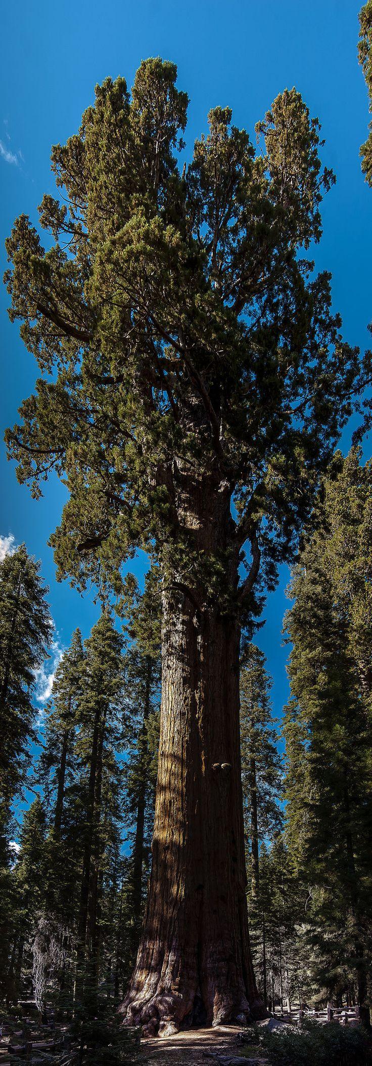 United States - California - Sequoia National Park - General Sherman Tree - Panorama - General Sherman (tree) - Wikipedia