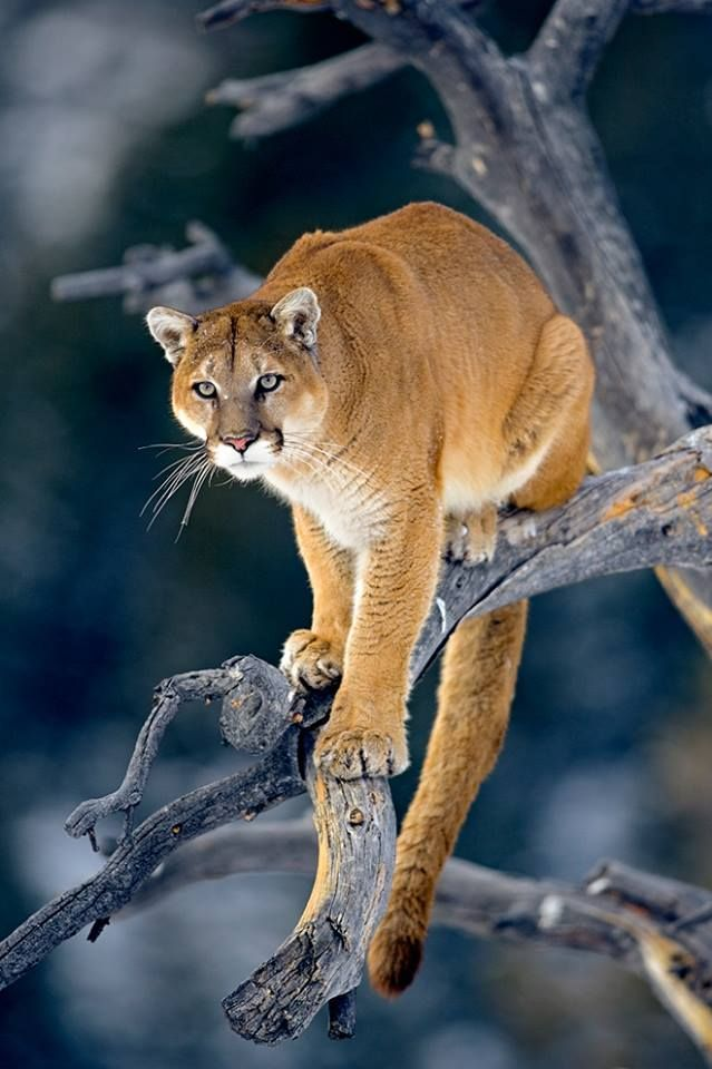The mountain lion waits for patiently for the right time to seize what it wants. It never reacts