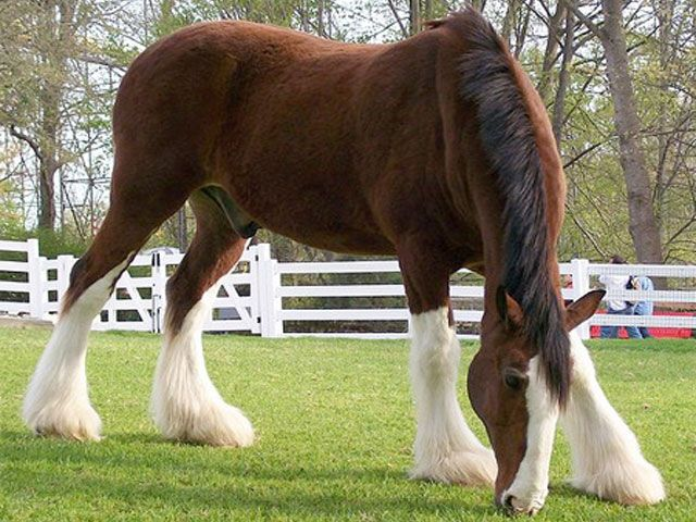 Clydesdale horse breed information