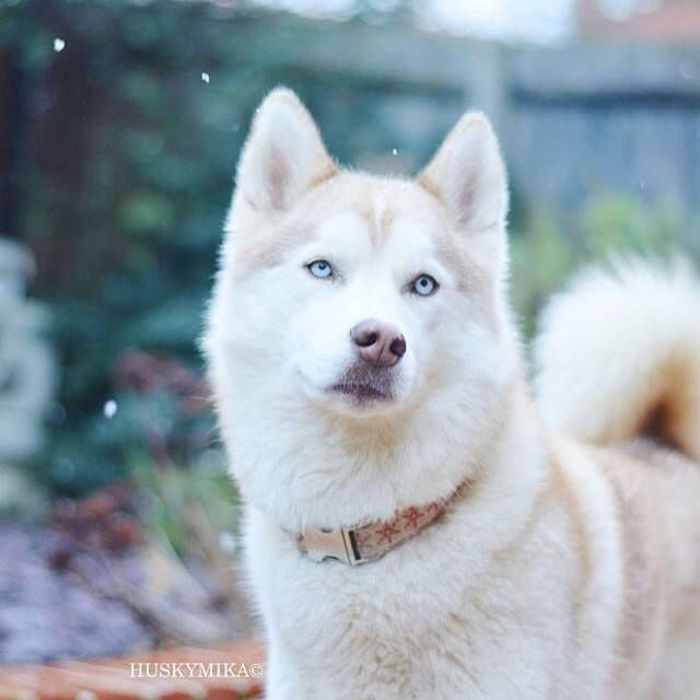 This is one of the most gorgeous Huskies I've ever seen. They're such an intelligent, beautiful, loyal breed. They are high energy and need a ton of exercise but they're so worth it!