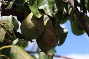 Planter un arbre fruitier - Jardin Eden