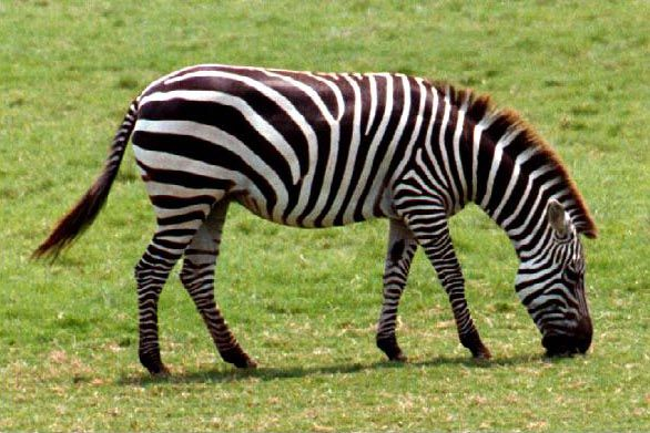 Google Image Result for http://freeimagesarchive.com/data/media/47/15_zebra.jpg