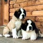 best-saint-bernard-breeders-120