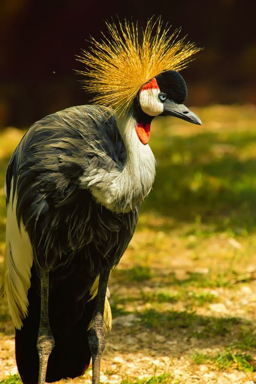 East African Crowed Crane