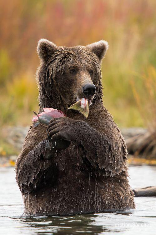time to eat salmon, alaska bear  at the katmai national park.   NATIONAL GEOGRAPHIC