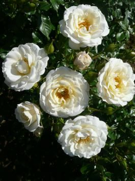 THE SHEIK KHALIFA ROSE (Dickoolkid) 2012   £8.50 A creamy white bushy patio, 56 x 62 cm, with Hybrid Tea shaped flowers which open to reveal a hint of lemon at the centre. Named to commemorate the 40th Anniversary of Abu Dhabi.  One free plant with every order over £45, while stocks last, with orders placed before Christmas.