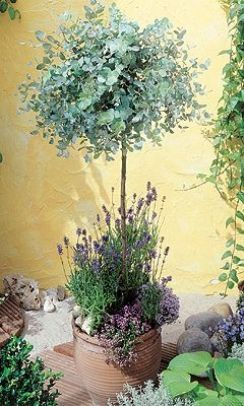 Anti-Mosquito Gum Tree - Eucalyptus Gunnii - With 2 Lavender Plants to Keep Bugs & Knats at bay for in front of the loo window?