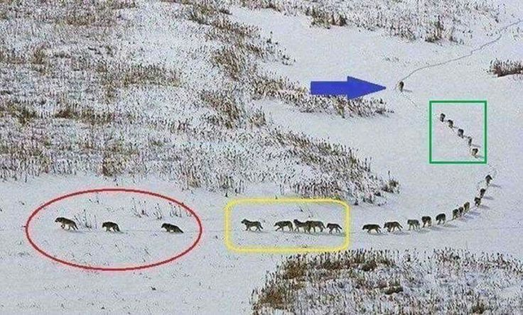A little food for thought... A group of wolves: The three in front are old & sick, they walk in front to set the pace of the running group lest they get left behind. The next five are the strongest & best, they are tasked to protect the front side if there is an attack. The pack in the middle are always protected from any attack. The five behind them are also among the strongest & best; they are tasked to protect the back side if there is an attack. The last one is the LEADER.