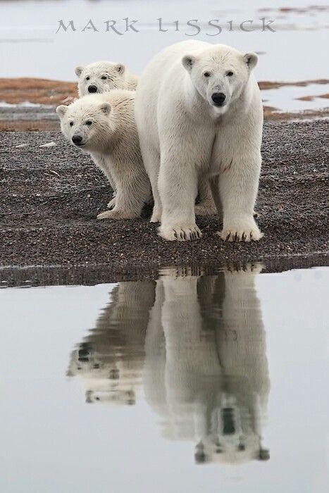 Polar Bear 42 D 25 28 best Polar B...