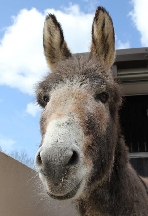 Benjy, adopt a donkey <3