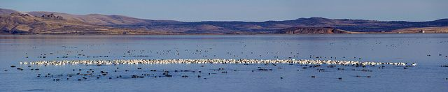 Snow Geese and Coots in Tulelake Refuge