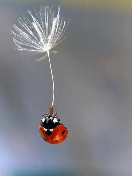 A ladybug clinging to a dandelion puff seed, floating in the wind.