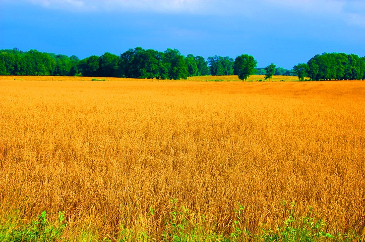 Fields of Gold - Chester SCGod Miracle, Favorite Places, Earth Nature, Beautiful Earth, Banners Ideas, Carolina Girls, Nature Photography, James Website, Carolina Finest