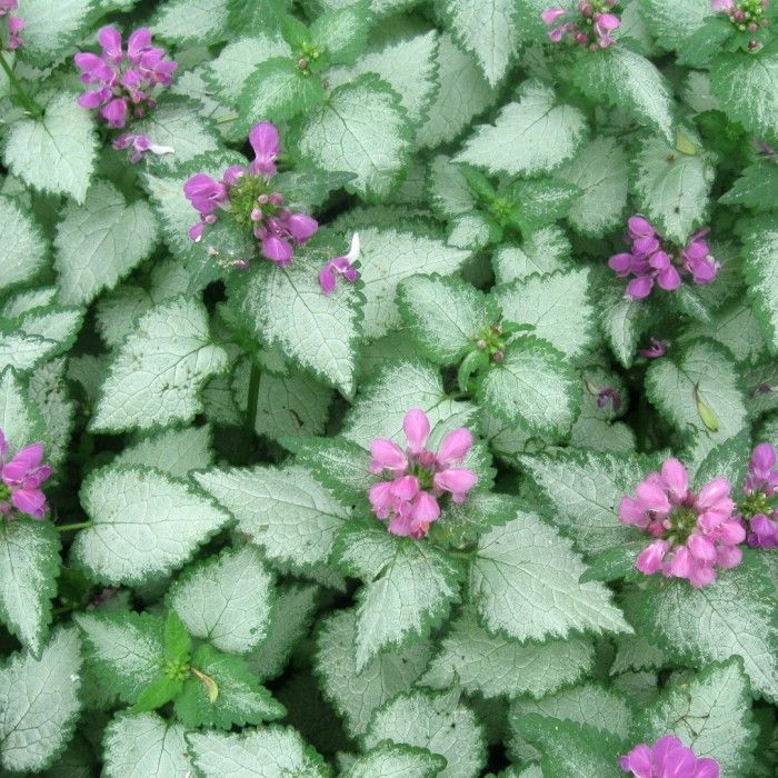 28 best ground covers and vines images on pinterest ground lamium orchid frost shade ground cover blooms spring and fall mightylinksfo Image collections