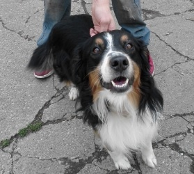 Cooper is an adoptable Australian Shepherd Dog in Madison Heights, MI. Cooper is a 2 year old Australian Shepherd mix who we rescued from a kill shelter. Unfortunately he came in with an embedded col...