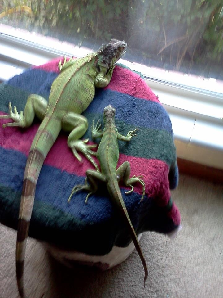 Why it is important to know everything about iguanas before purchasing this reptile