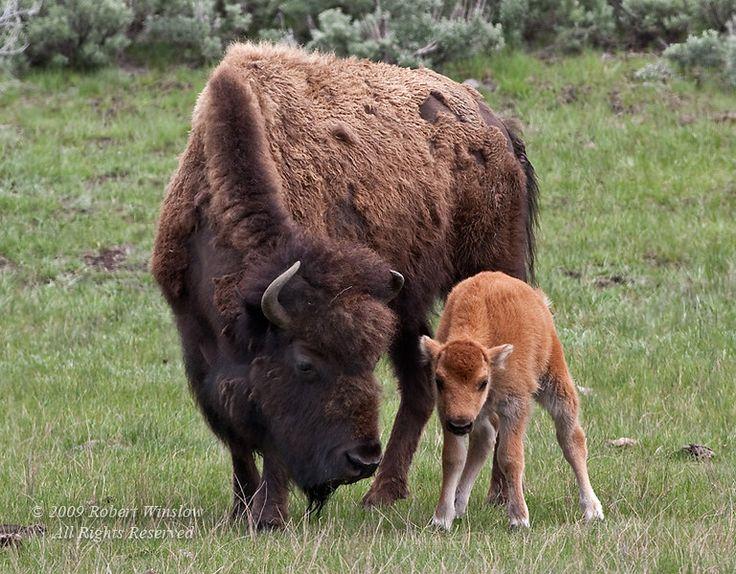 American BuffaloAnimals Birds Fish, Animal Kingdom, American Bisons, Buffalo Bisons, Mothers Animal, Amazing Animal, Born Calf, Cuddly Animal, American Buffalo