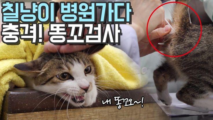 고양이 칠냥이 병원가다 충격! 똥꼬검사TT Cat went to Animal Hospital
