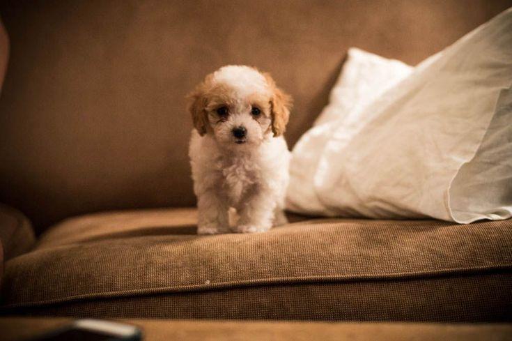 cavapoo, puppy, cavapoo puppy, cavoodle, cavoodle puppy