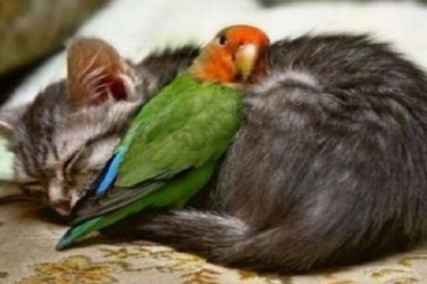Top 10 Feather Friendly Cats Who Love Birds  It's not often dinner cuddles you, but when it does...  #birds #cats #CatsIn5Words #Caturday