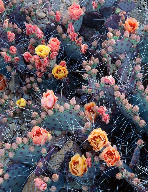 Copyright: George H. H. Huey ~ Purple prickly pear cactus in flower [Opuntia violacca]. Big Bend National Park; Texas.