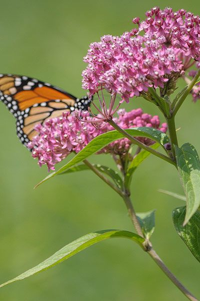 Red Butterfly Milkweed Asclepias Curassavica Red: 16 Best Butterflies And Native Plants Images On Pinterest
