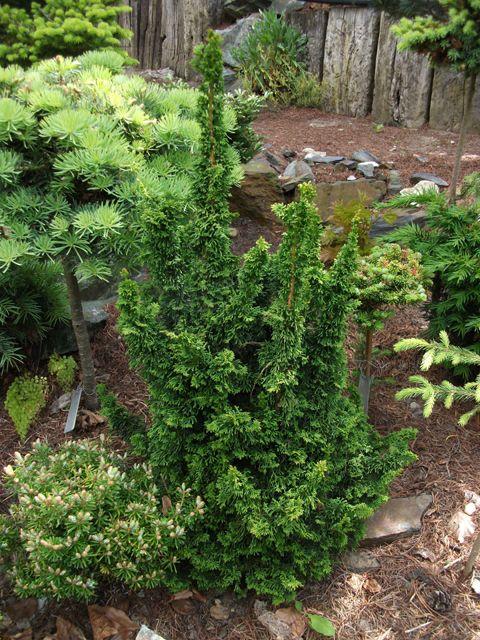 Sortiment Edwin Smits Conifers Thuja occidentalis 'Malonyana Holub'
