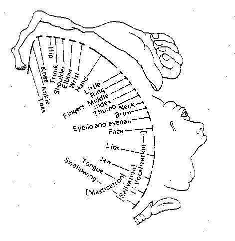 Primary   Motor Cortex — Brodmann Area 4