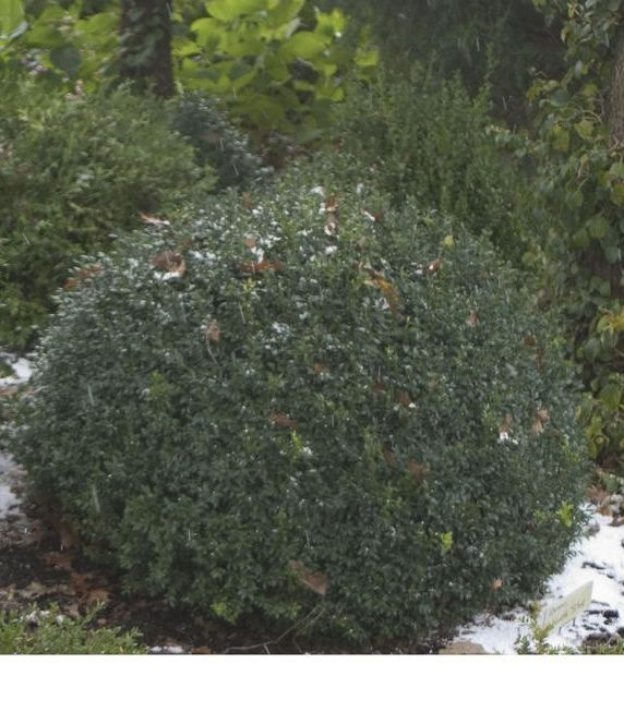1000 images about deer resistant shrubs on pinterest for Easy to maintain bushes