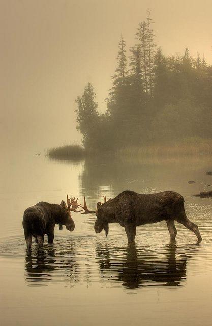 Moose in Isle Royale Park by Pure Michigan, via Flickr #puremichigan