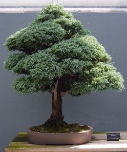 Types of Bonsai Plants | Bonsai Classification: Different Types of Bonsai Trees