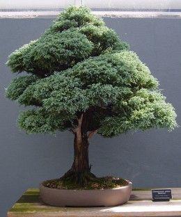 Types of Bonsai Plants | Bonsai Classification: Different Types of Bonsai Trees