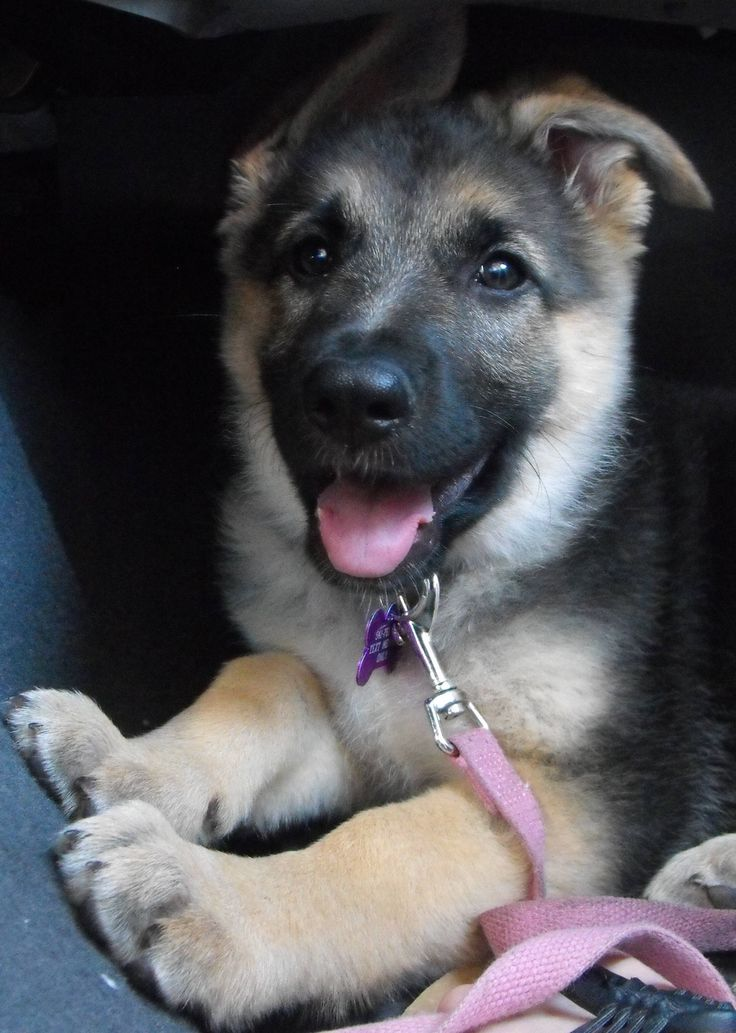 This German shepherd #puppy has floppy ears. Does she pass the aww inspection?  #germanshepherddogs