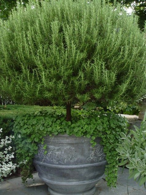 Rosemary is the easiest to grow and it grows quickly, so if you're looking to add topiaries to your garden or porch, this is the best plant to choose! nice tree form here. plantsfordallas.com