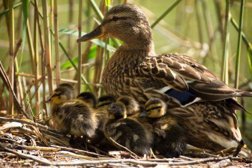 raindropsonroses-65: Ducklings by Karin Pezel on Fivehundredpx