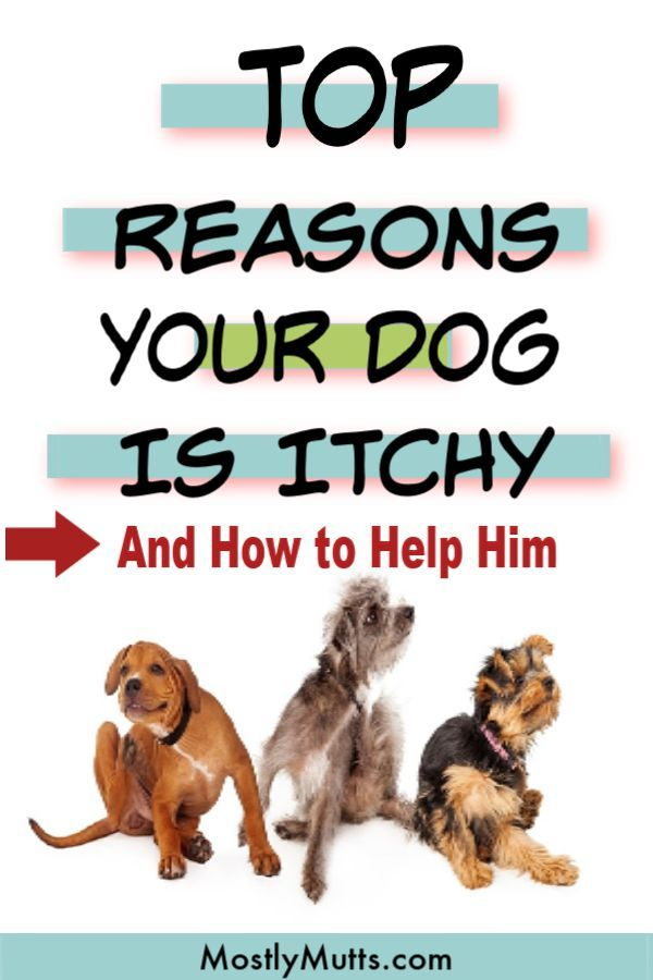 Help Your Itchy Dog To Stop The Scratching Biting Paws And Digging At His Ears Itchy Dog Skin Itchy Dog Dog Skin Problem