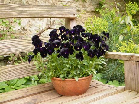 Black Petunias, a hybrid created by the flower breeding company Ball Colegrave... They're a mysterious kind of gorgeous to me