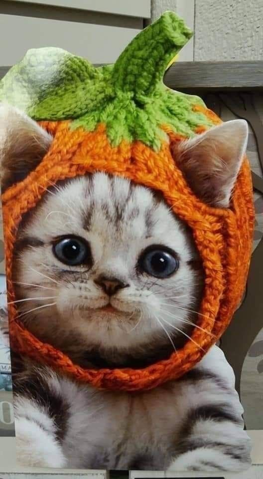Kitten Knit Pumpkin Hat Cute Cat Little Big Funny Halloween Card by Avanti Press Crochet Dog Sweater, Dog Sweater Pattern, Cute Kittens, Cats And Kittens, Cats In Hats, Yorkie, Pet Costumes, Cute Cat Costumes, Kitten Costumes