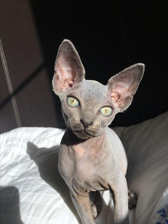 Sé calvo y día libre: 7 divertidos gatos sin pelo de Instagram