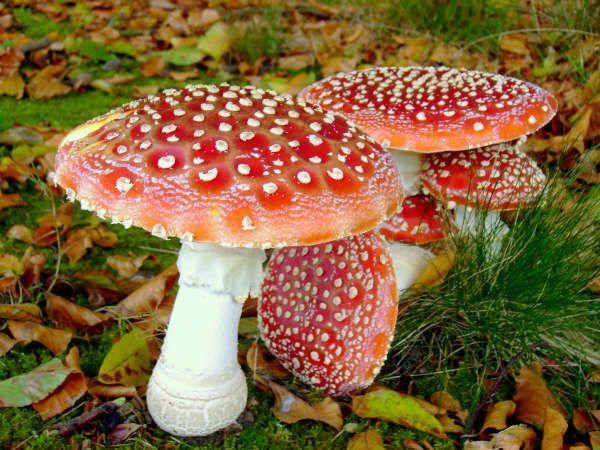 Fly Agaric Mushrooms What is Fly Agaric? Also known as Amanita Muscaria, this is a large, distinctive, commonly found 'magic' mushroom across the British Isles, Northern America, Europe, Siberia and Asia with strong psychedelic effects. used in shamanic cultures to communicate with the spirit world. It is worth noting that the red colour may fade in older mushrooms and after it has rained. The mushroom is poisonous, but fatal reactions rarely occur, unless dozens are eaten raw. The fly...