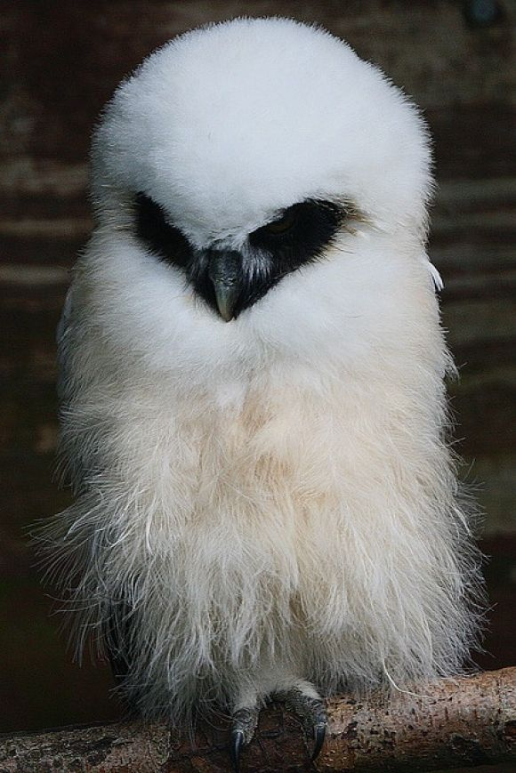 beautiful white owl with black around its eyes