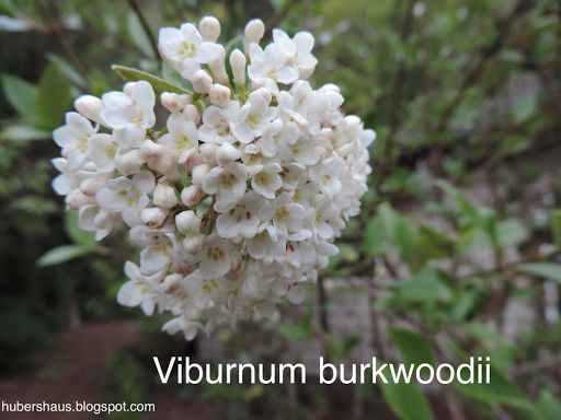 Viburnum burkwoodii This plant is perfect for a scented garden it has such a wonderful scent. There is 150 different species of viburnum