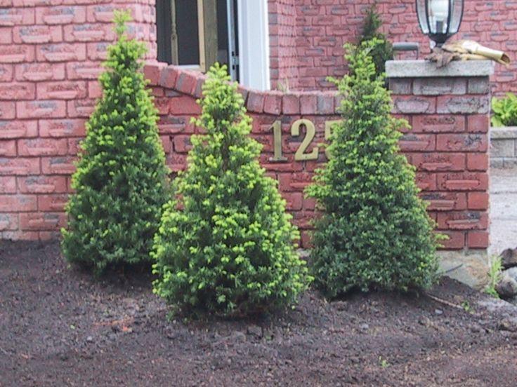 25 best evergreen shrubs and dwarf conifers images on. Black Bedroom Furniture Sets. Home Design Ideas