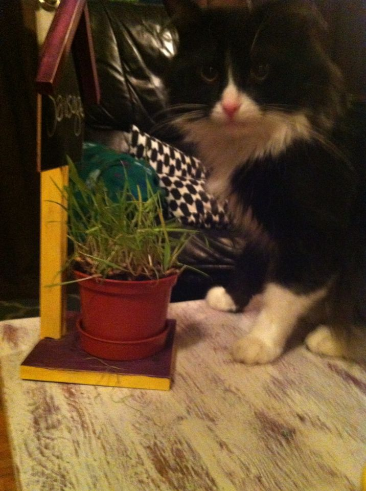 My little cat enjoying the table I refinished and his cat grass stand my son and I made.