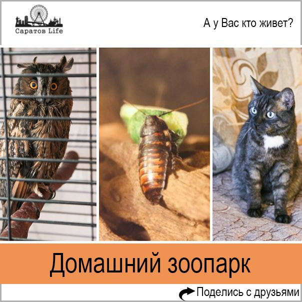 """Сова, кот, тараканы, рыбки - саратовец рассказал про свой домашний """"зоопарк""""  В каждом нормальном доме должен быть кот. Или пес. Или, в крайнем случае, попугай. Но признайтесь, разве вы не мечтали завести сову, например? The Saratov Room нашел человека, который свою мечту исполнил, и сходил к нему в гости. Мы совершили путешествие в Агафоновку к Александру Репникову, он рассказал нам про свой зоопарк и познакомил с живностью.  Об истории  Здесь все очень банально — я занимаюсь этим, потому…"""