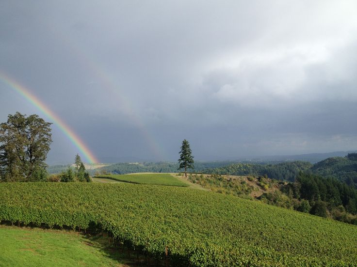 """A rainbow touches down near Fairsing Vineyard following a soft shower at sunset - """"Big Doug"""" (our lone Douglas Fir tree) and the vines enjoy the view!"""