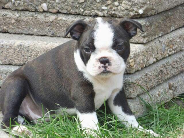 Django Boston terrier pup
