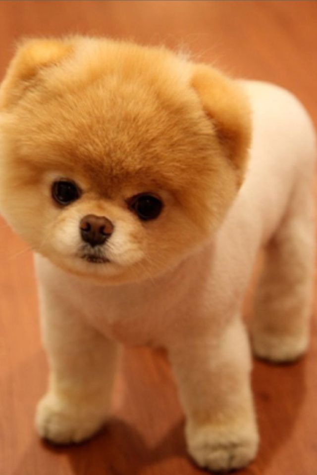 The Best Boo Dog Breed Ideas On Pinterest Best Puppies Best - 16 fluffy cute animal species world