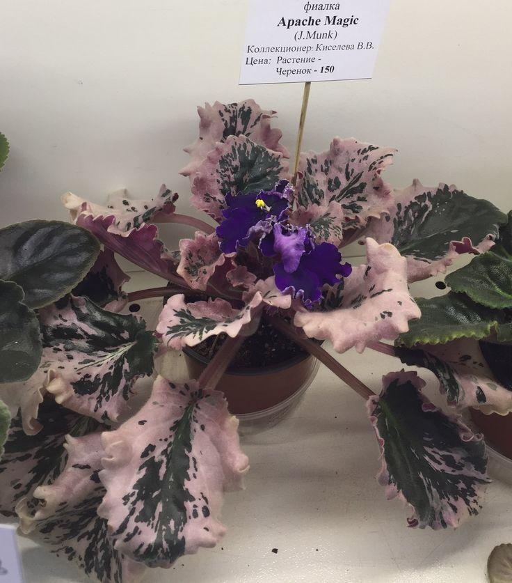 Apache magic (Селекция J. Munk) Крупные, необычной формы, синие почти черные цветы. Красивая кремово-розовая пестролистная розетка.